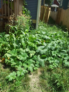 My pumpkin patch is currently trying to declare its independence