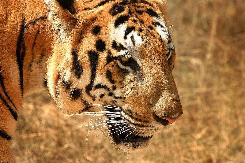 Source: Wikipedia http://en.wikipedia.org/wiki/File:Tiger_in_South_India.jpg